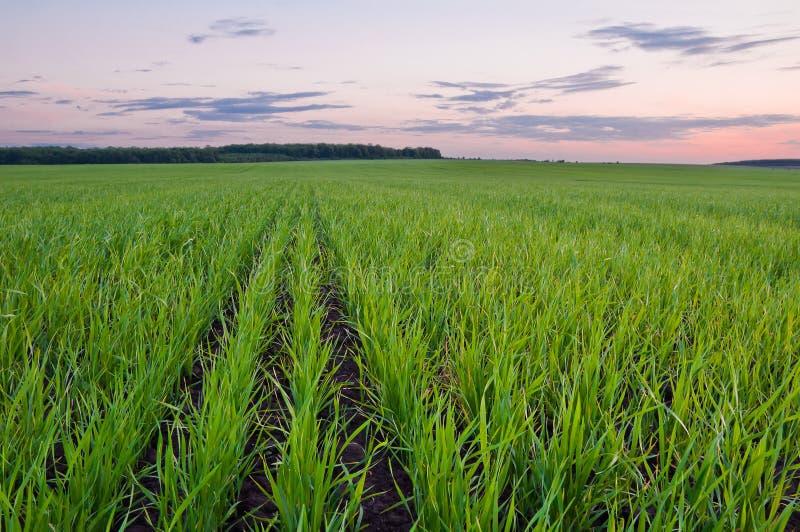 Campo de trigo verde en primavera temprana y el borde del bosque encendido foto de archivo libre de regalías
