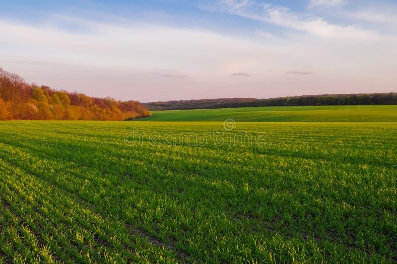 Campo de trigo verde en primavera temprana y el borde del bosque encendido fotografía de archivo libre de regalías