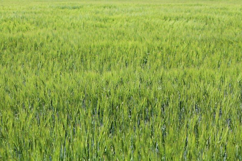 Campo de trigo verde Fondo verde de la agricultura con los cereales imágenes de archivo libres de regalías