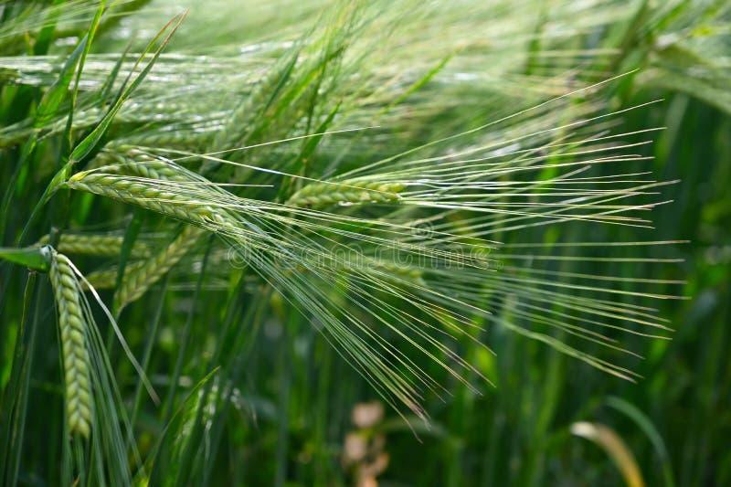 Campo de trigo verde joven hermoso Fondo colorido natural del verano para la agricultura imagen de archivo