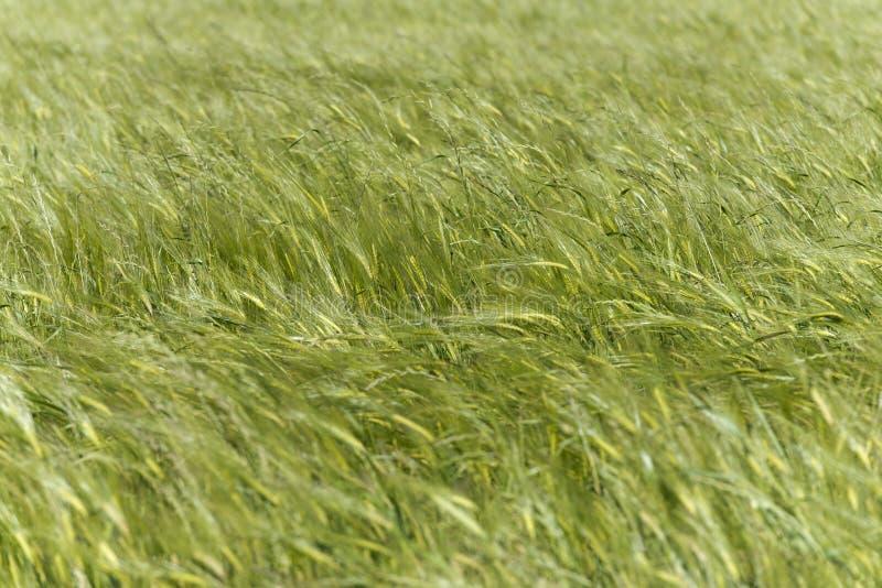 Campo de trigo verde movido pelo vento foto de stock royalty free