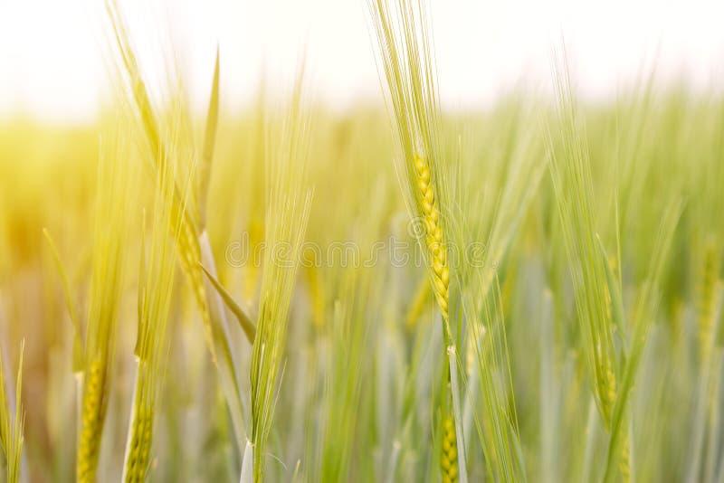 Campo de trigo verde no dia ensolarado imagens de stock royalty free