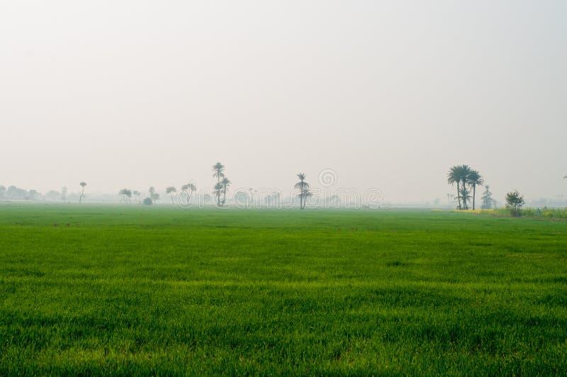 Campo de trigo verde no campo de Punjab fotografia de stock royalty free