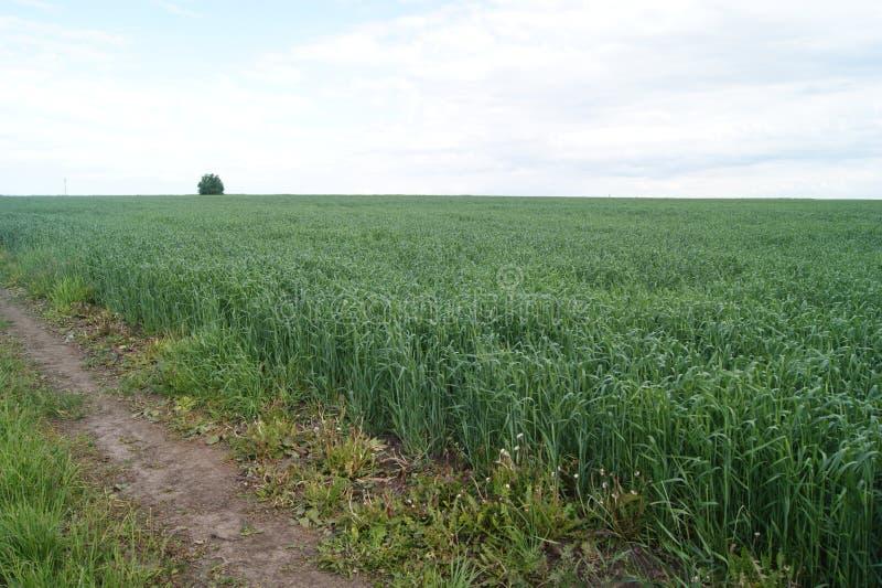 Campo de trigo verde no verão imagem de stock royalty free