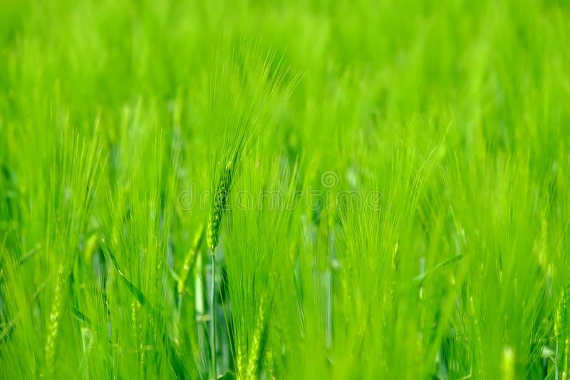 Campo de trigo verde novo bonito imagens de stock