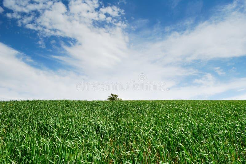 Campo de trigo verde vazio fotos de stock