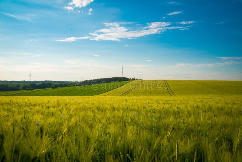 Campo de trigo verde y amarillo en estaci?n de primavera debajo del cielo azul, foto ancha Con el espacio de la copia imagen de archivo