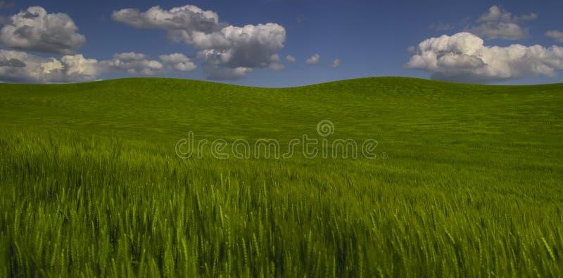Campo de trigo verde y cielo azul foto de archivo libre de regalías