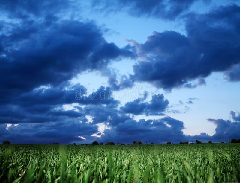 Campo de trigo y cielo bly tempestuoso de la obscuridad. imagen de archivo libre de regalías