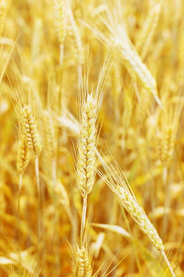 Download Campo De Trigo Y Oído Del Trigo Foto de archivo - Imagen de farming, campo: 42437818