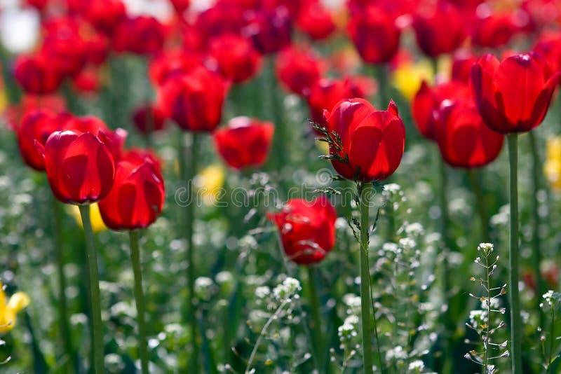 Campo de tulipanes imagen de archivo libre de regalías