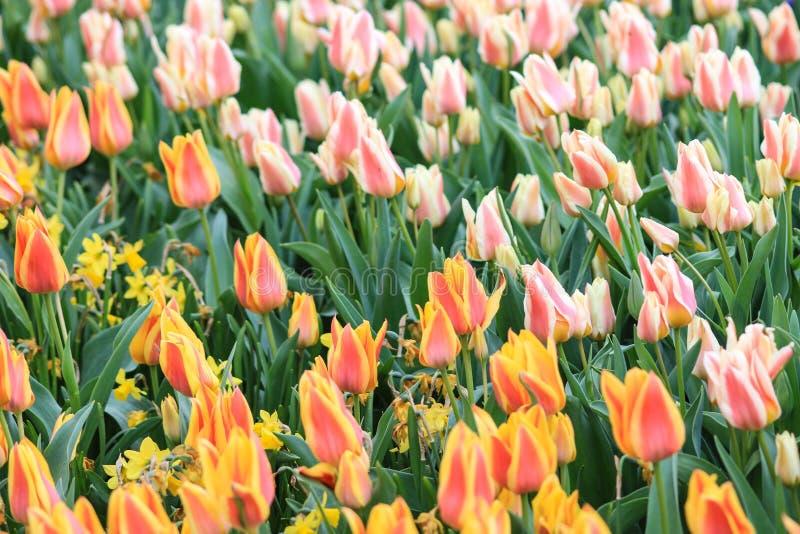 Campo de tulipanes blancos rojos y rojos amarillos foto de archivo