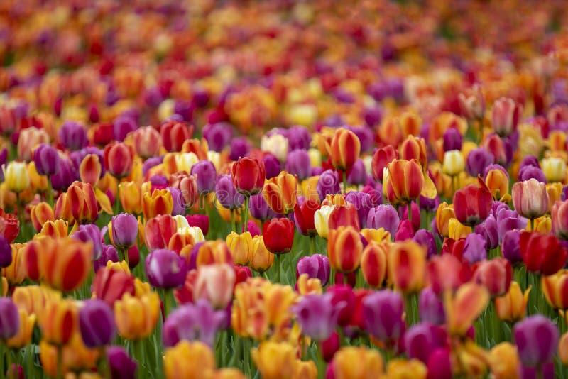 Campo de tulipanes coloreados foto de archivo libre de regalías