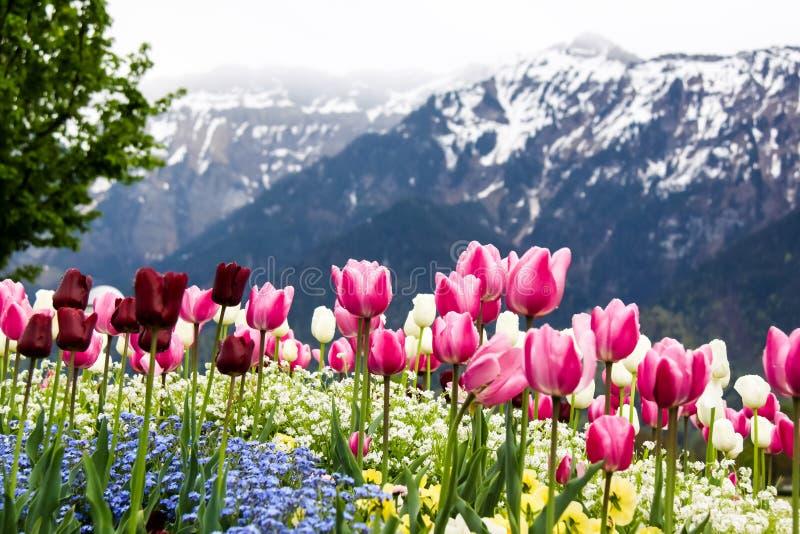 Campo de tulipanes coloridos fotos de archivo