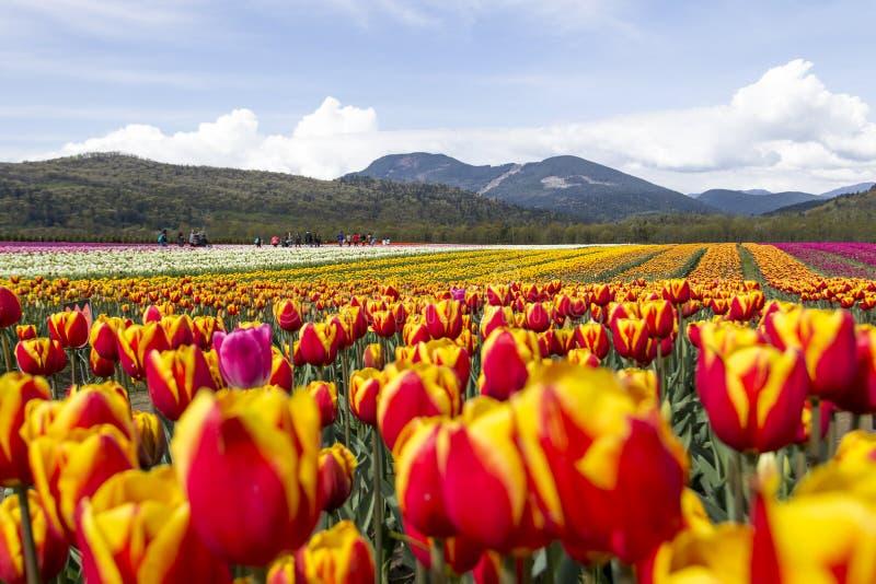 Campo de tulipanes coloridos brillantes con las montañas en fondo fotos de archivo