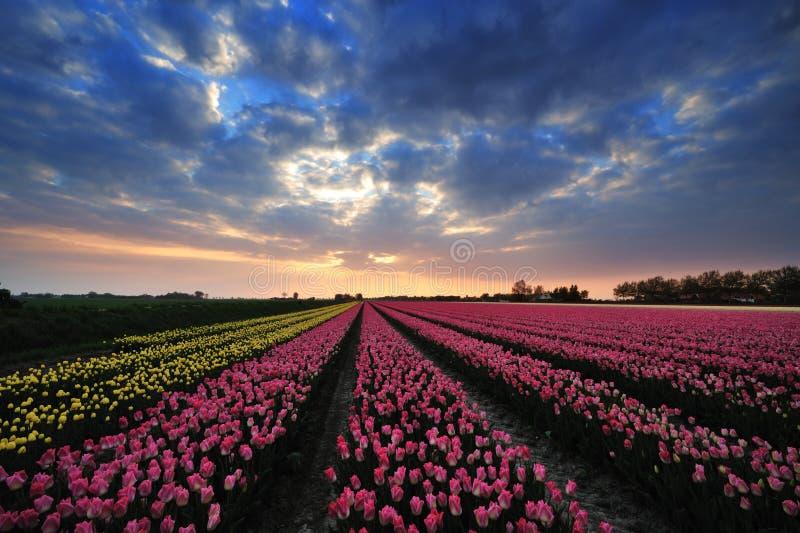 Campo de tulipanes con puesta del sol foto de archivo