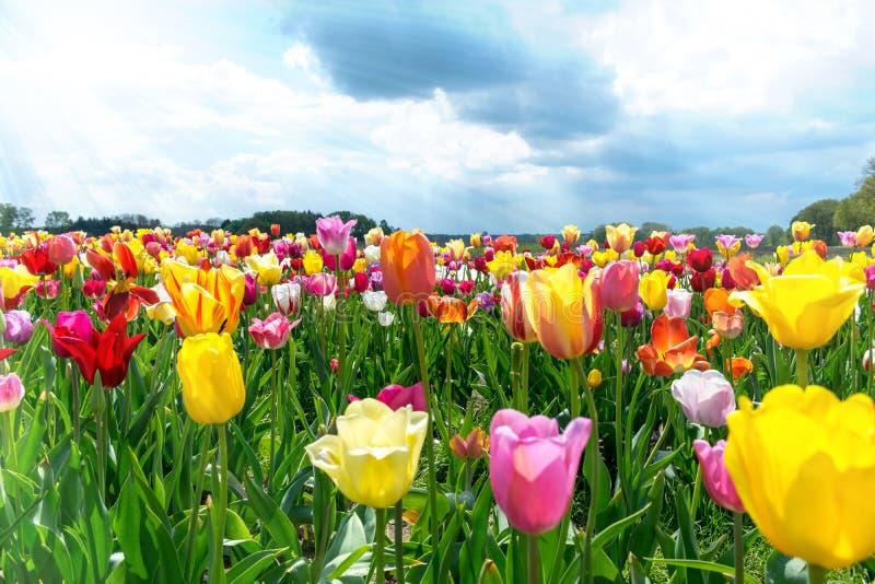 Campo de tulipanes en primavera debajo del cielo azul fotos de archivo libres de regalías