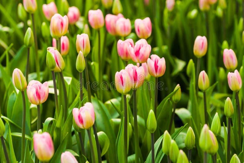 Campo de tulipanes rosados foto de archivo libre de regalías