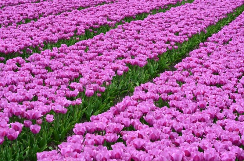 Campo de tulipanes rosados imagen de archivo
