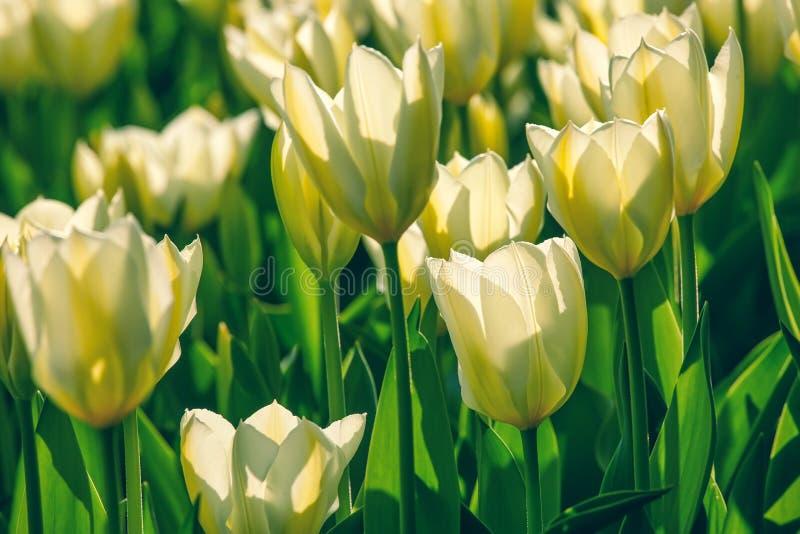 Campo de tulipas amarelas no jardim das flores imagem de stock royalty free