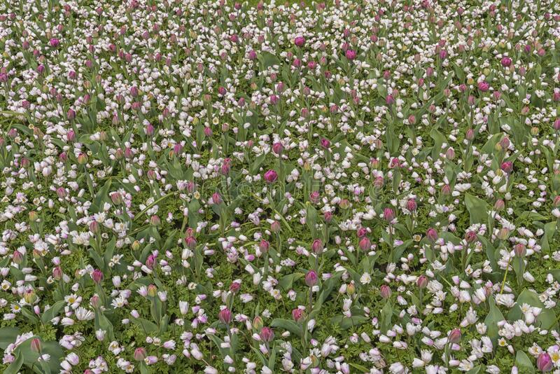 Campo de tulipas brancas e cor-de-rosa nos Países Baixos, Keukenhof Culturas de flores Paisagem natural da primavera fotos de stock royalty free