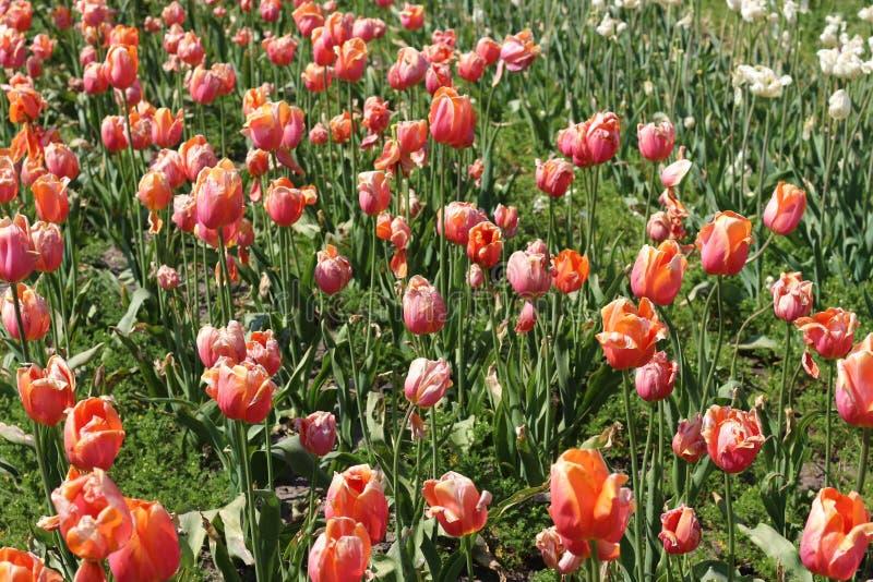 Campo de tulipas da dança fotos de stock royalty free