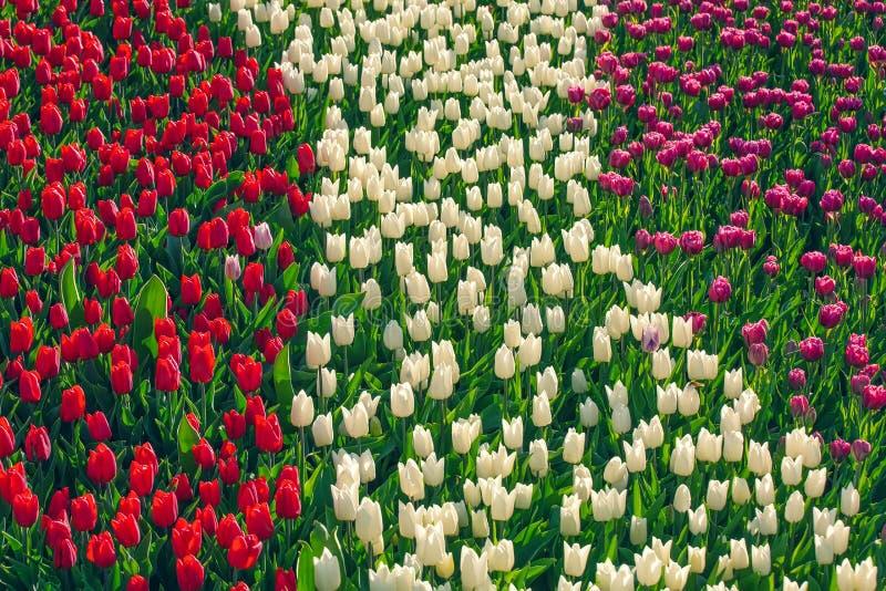 Campo de tulipas vermelhas, cor-de-rosa e branca no jardim das flores foto de stock royalty free