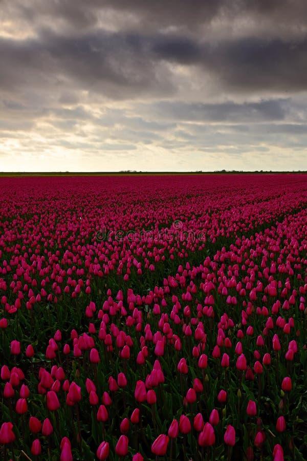 Campo de tulipas vermelhas dentro contra um céu de vista tormentoso, paisagem da tradição da Holanda, dia chuvoso fotos de stock