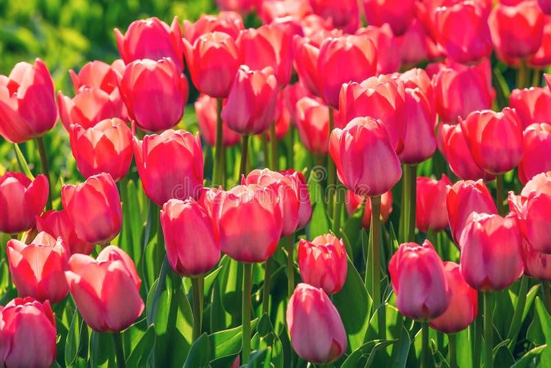 Campo de tulipas vermelhas no jardim das flores imagem de stock