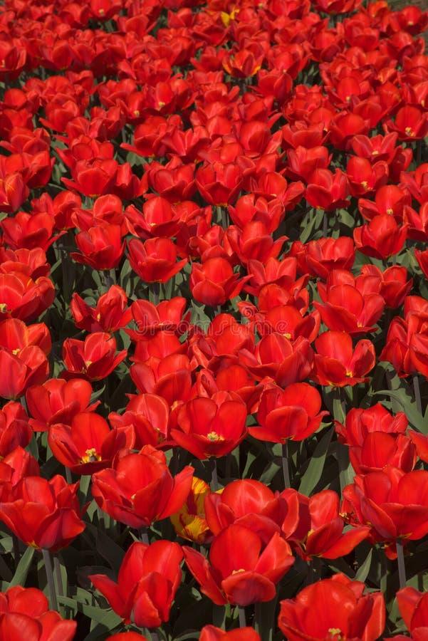Campo de tulips vermelhos fotografia de stock royalty free