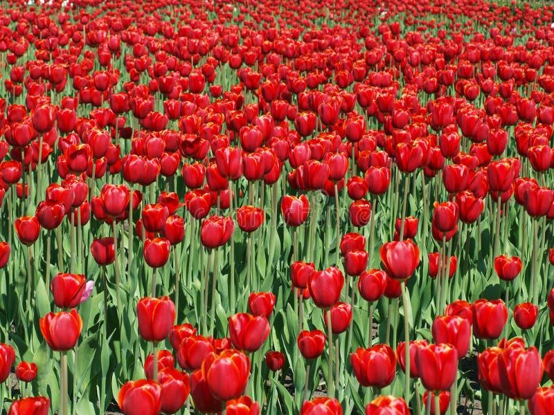 Campo de tulips vermelhos imagem de stock