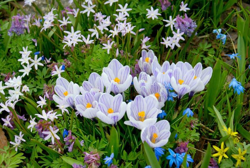 Campo de Violet Crocus Flowers fotografía de archivo
