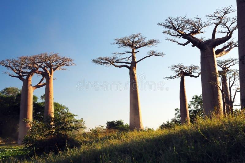Campo dei baobab immagini stock