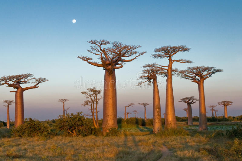 Campo dei baobab fotografie stock