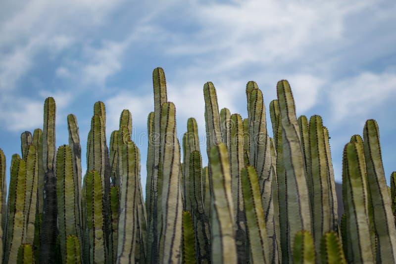 Campo dei cactus con il cielo fotografie stock