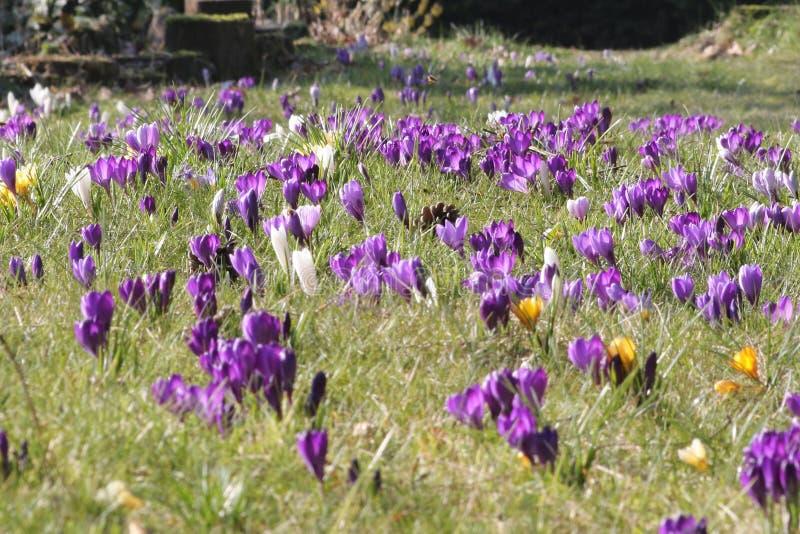 Campo dei crocusses di fioritura in primavera fotografia stock