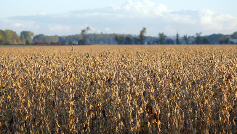 Campo dei fagioli della soia fotografia stock