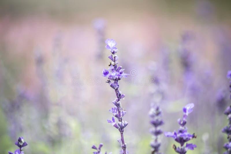 Campo dei fiori blu di salvia Fuoco selettivo immagini stock libere da diritti
