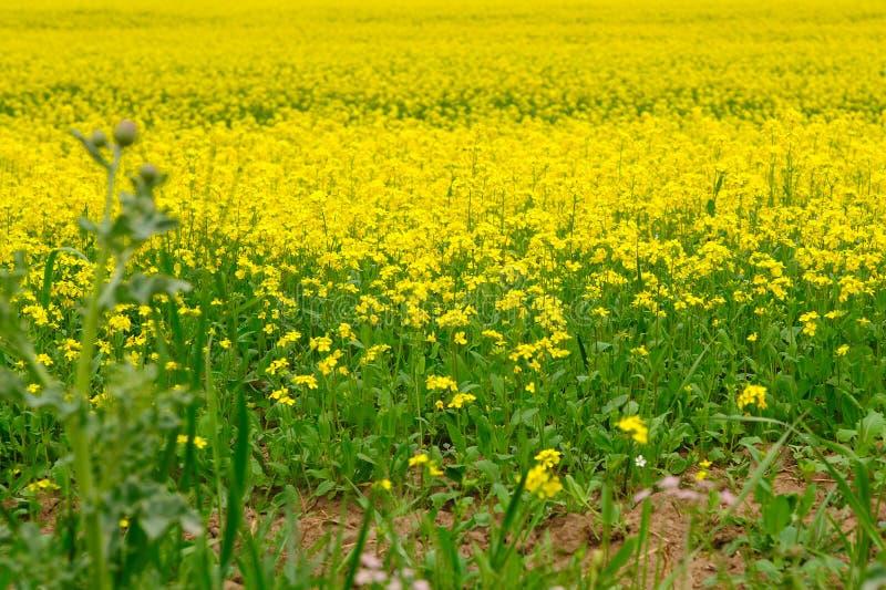 Campo dei fiori del cole fotografia stock libera da diritti