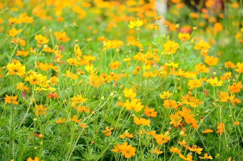 Campo dei fiori, fondo dei fiori fotografia stock libera da diritti