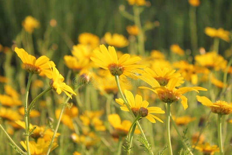 Campo dei fiori gialli immagine stock