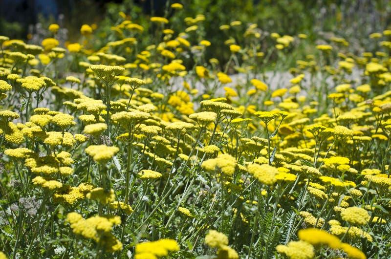 Campo dei fiori gialli fotografie stock