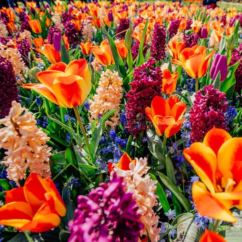 Campo dei fiori selvaggi Paesaggio della sorgente l'olanda fotografia stock libera da diritti