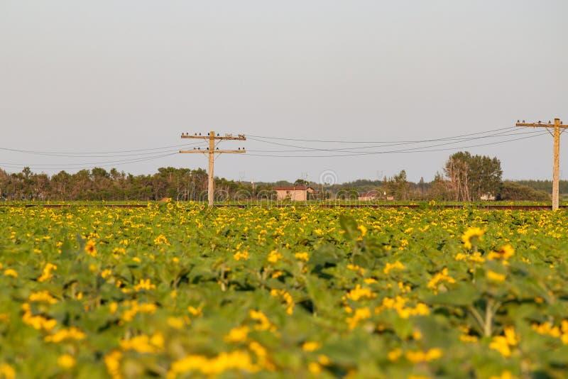 Campo dei girasoli con la strada ferrata e Pali fotografia stock