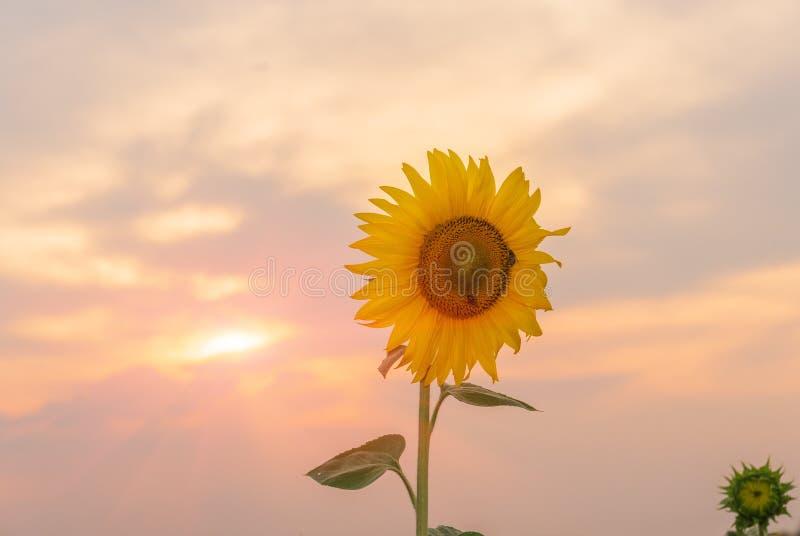 Campo dei girasoli di fioritura su un tramonto del fondo immagine stock