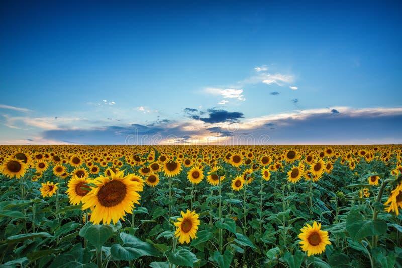 Campo dei girasoli di fioritura su un tramonto del fondo fotografia stock