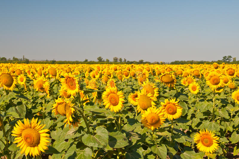 Campo dei girasoli di fioritura su un tramonto del fondo, immagini stock