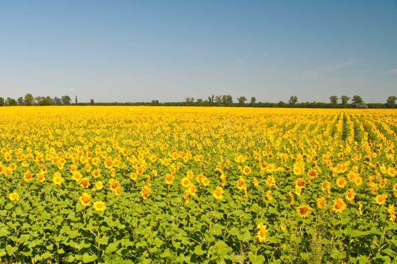 Campo dei girasoli di fioritura su un tramonto del fondo, fotografia stock libera da diritti