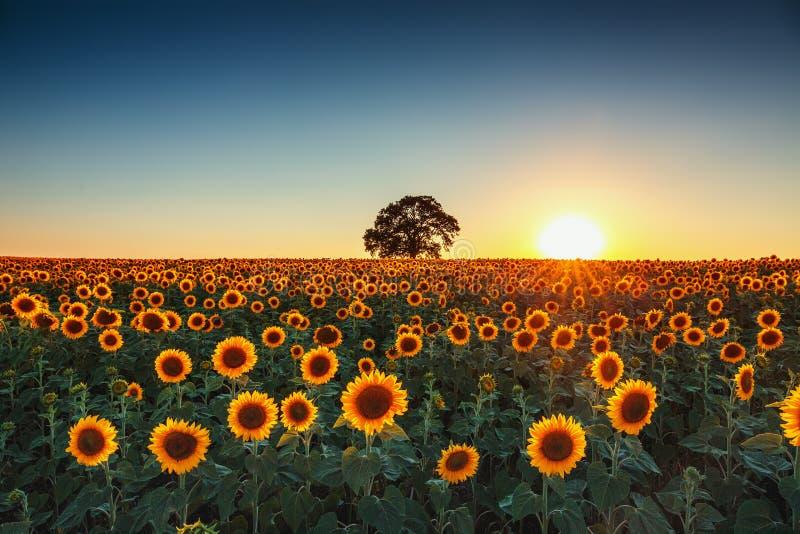 Campo dei girasoli di fioritura su un tramonto del fondo immagine stock libera da diritti