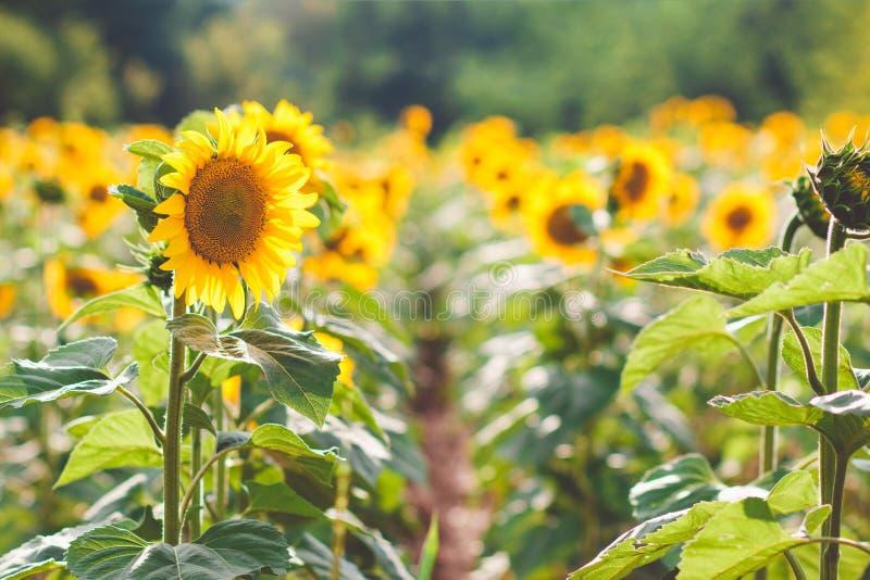 Campo dei girasoli di fioritura su un tramonto del fondo, girasole f fotografie stock libere da diritti